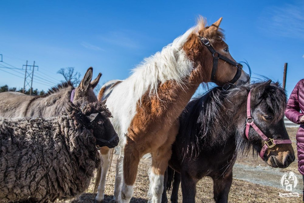 Donkeys, Ponies, Sheep, and More