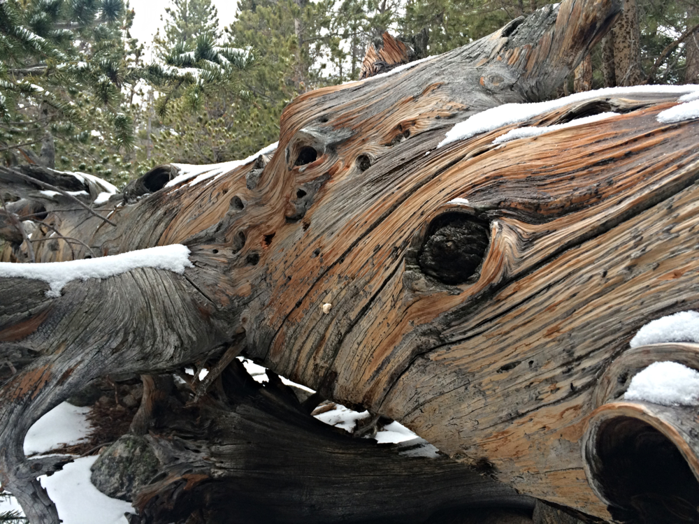The trees have eyes. Rocky Mountain National Park, Colorado