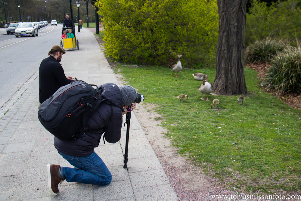 The mother goose was remarkably patient with us photographers eager to take pics of her chicks!