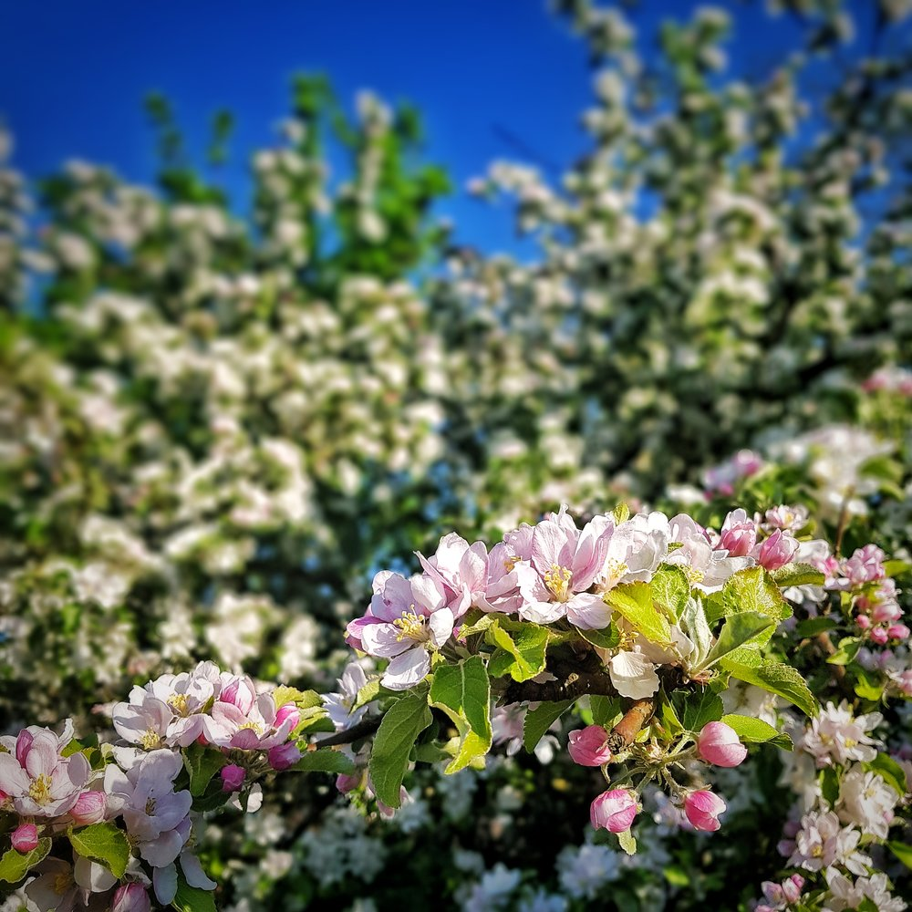 Day 140 - May 20: Apple Blossoms
