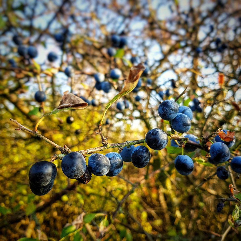 Day 314 - November 10: Berries on a vine