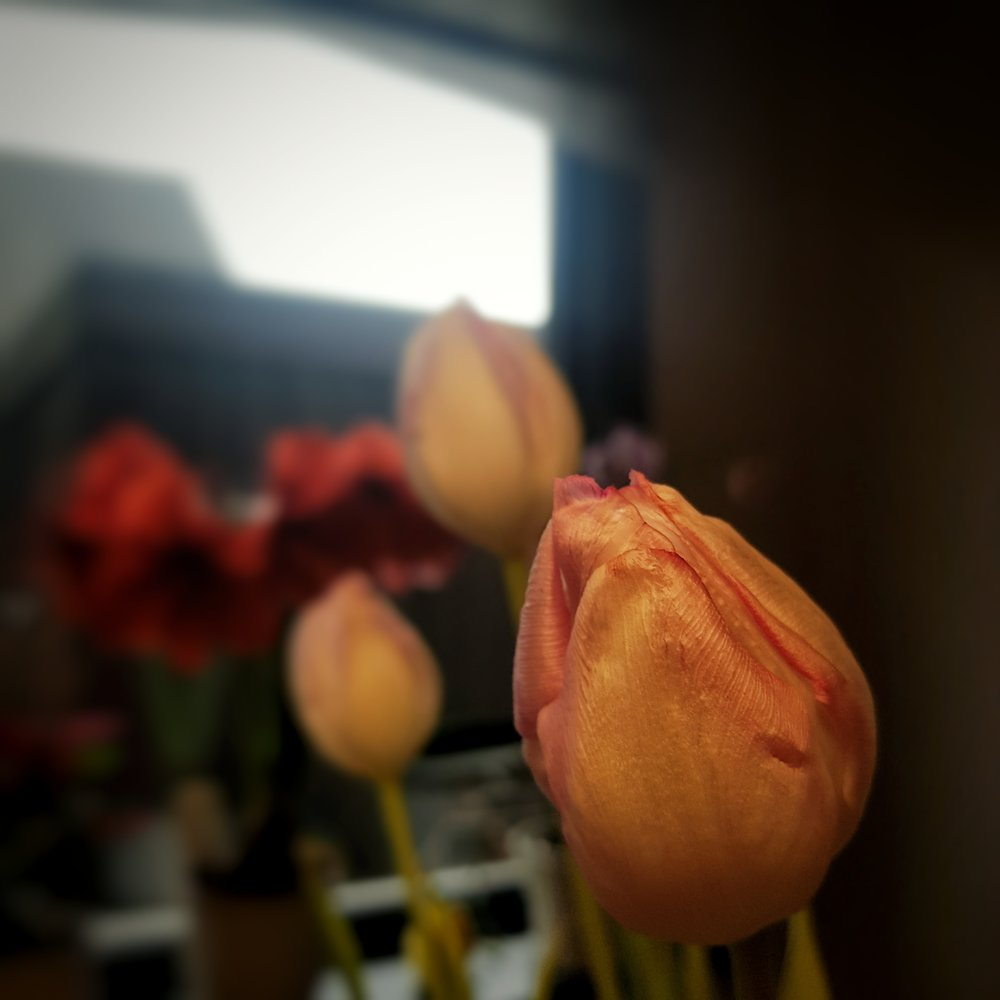 Day 17 - January 17: Tulips & Amaryllis
