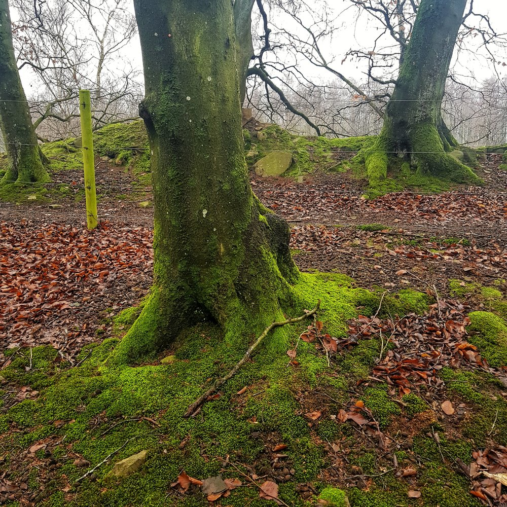 Day 36 - February 5: Mossy Trees