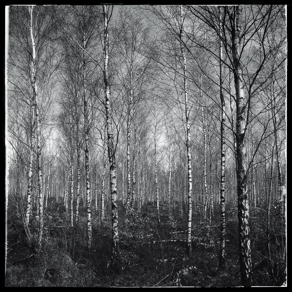 Day 63 - March 4: Birch Tree Bonanza