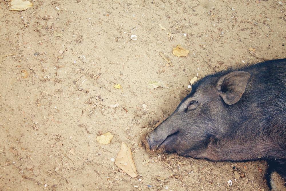 """""""Pig""""."""