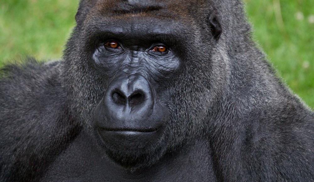 028_gorilla.jpg