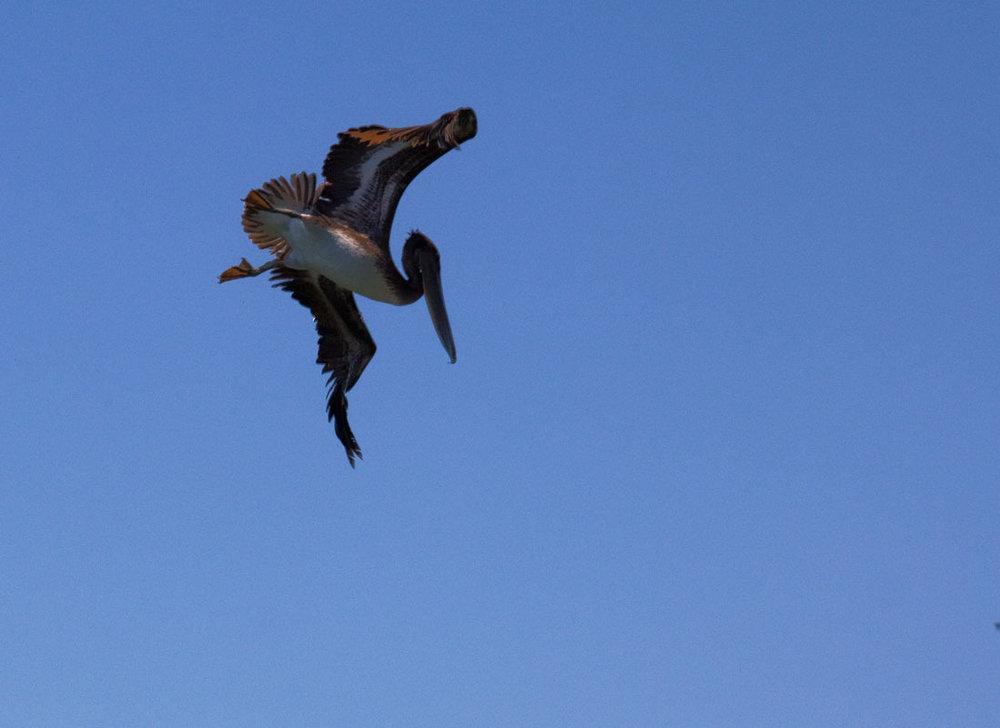 Pelican Plunge