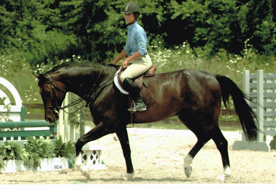 Stallone - amateur hunter and dressage horse