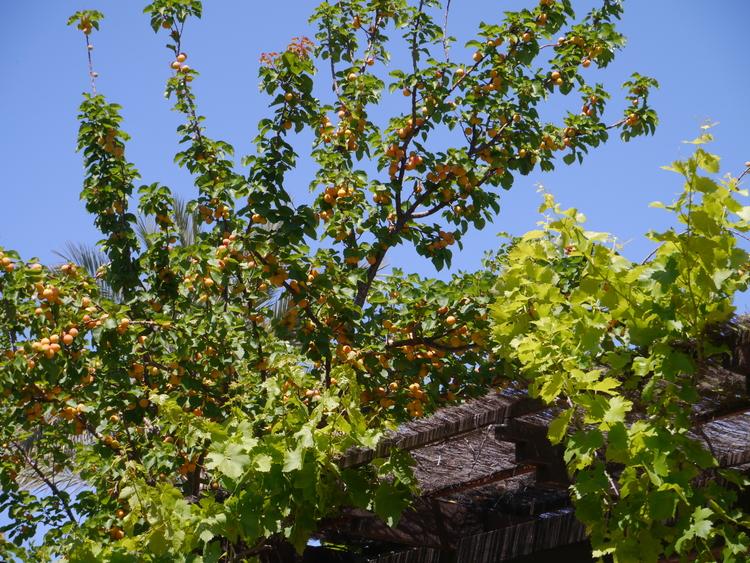 fruit+tree.jpg