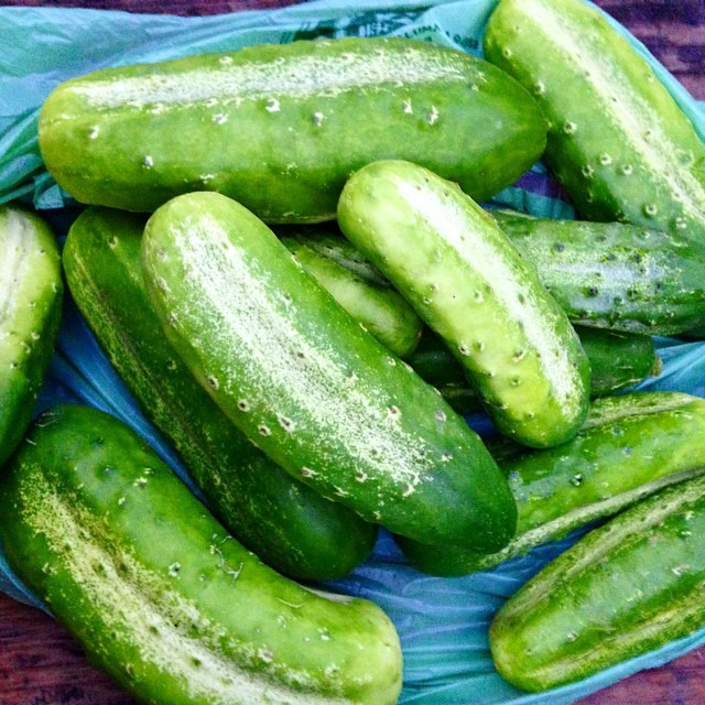 Beautiful cucumbers grown by my dear friend and farmer @shabagidoo #moonfoxfarm #pickletime