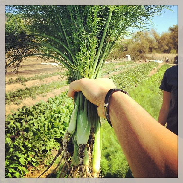Visiting farmer Annie at #moonfoxfarm #babyfennel #farmfresh