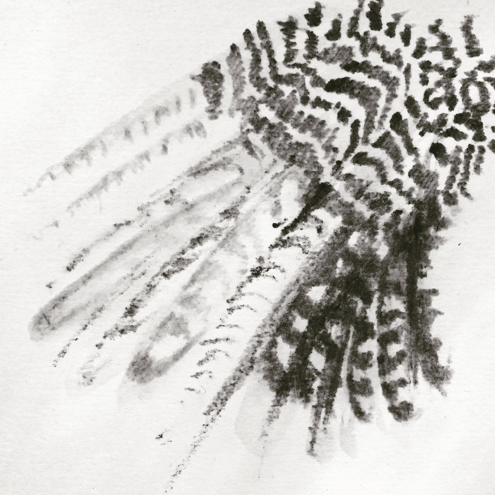Lana Fee Rasmussen sketch Peregrine Falcon