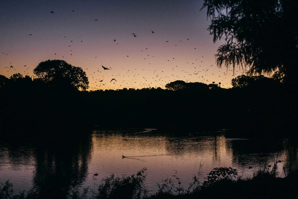 16.04.2019  Bats in centennial park.
