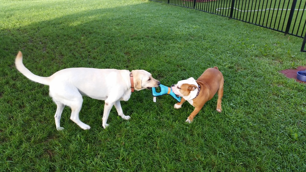 Tug-of-war is a fav game at LovesPaws
