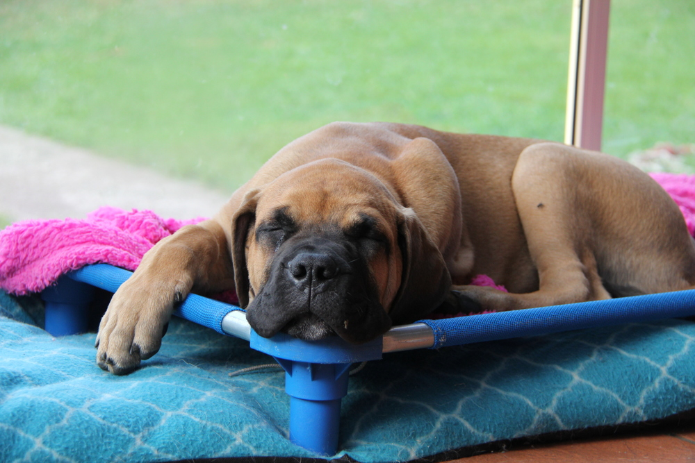 Bull mastiff pup