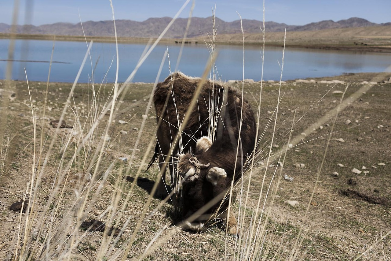 Cow in the Kyrgyz highlands near one of the old water ponds set up by the CCCP long time ago.