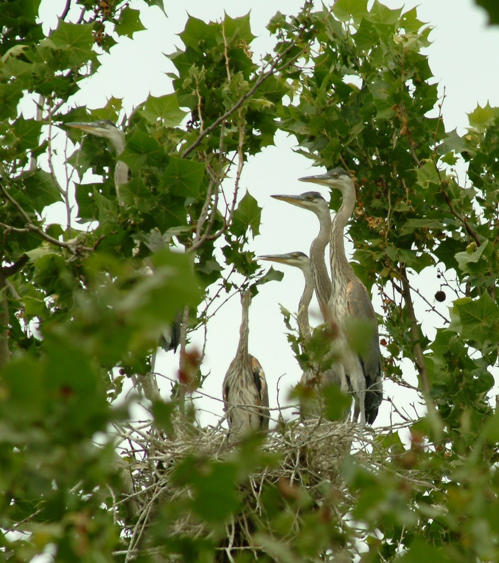 Great Blue Heron (Ardea herodias) nesting on protected property in Johnson County.