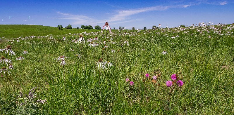 A field of echinacea on Red Buffalo Ranch.