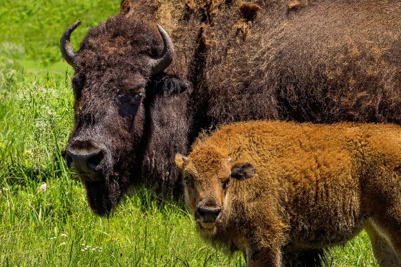 A buffalo and her offspring on Red Buffalo Ranch. Thanks to Bruce Hogle for these photographs.