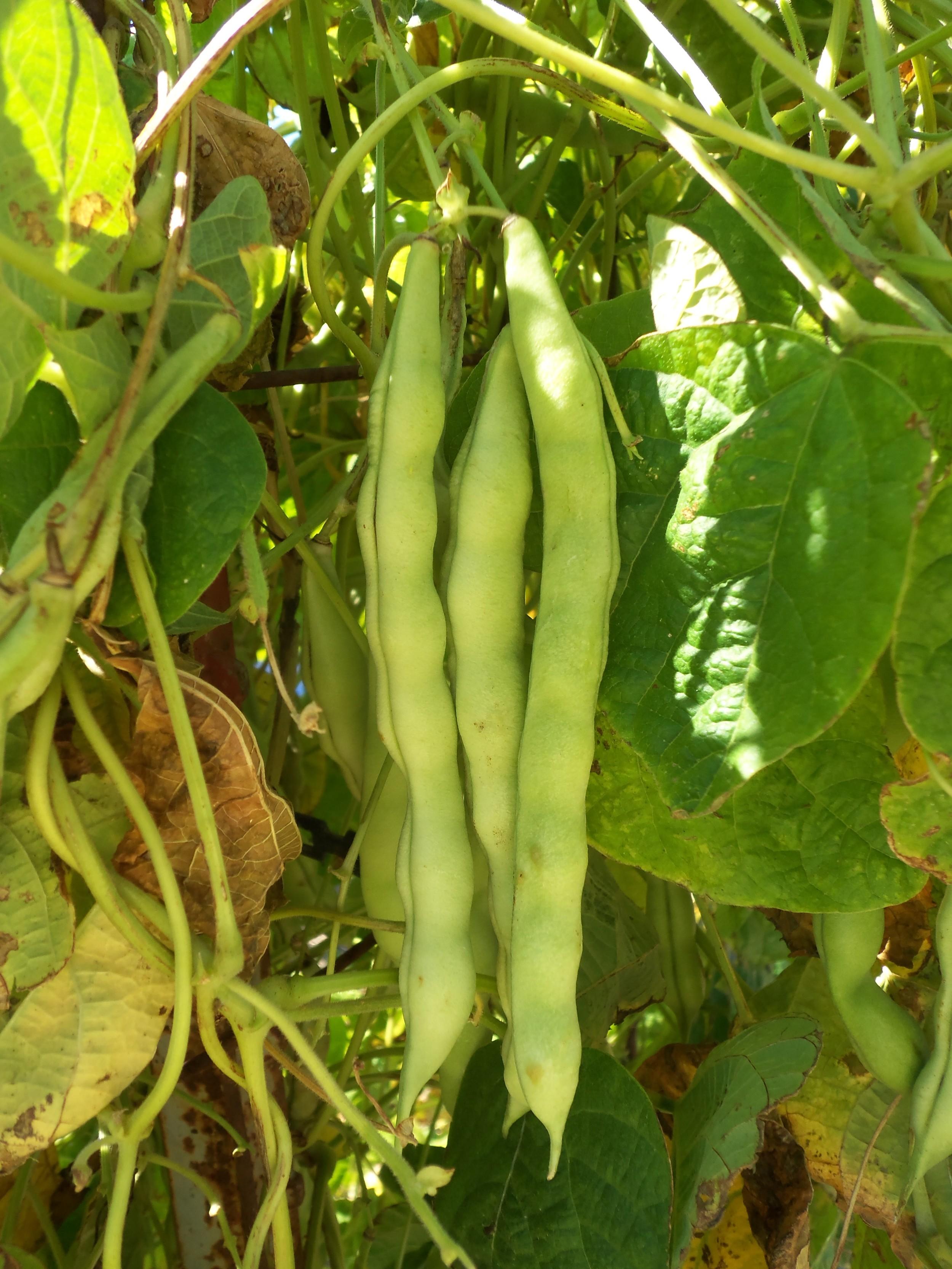 Bean3461