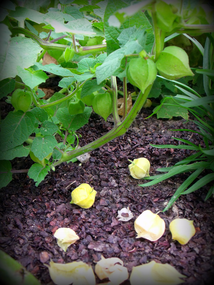 Ground Cherry husks