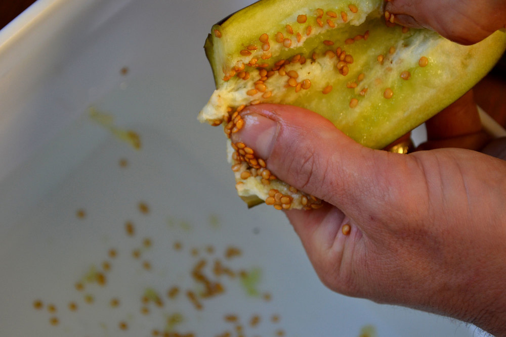 Extracting eggplant seeds from a mature fruit