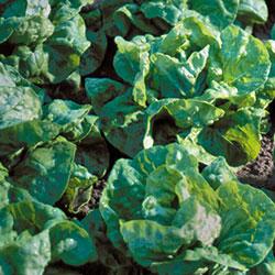 Lettuce-Tennis-Ball