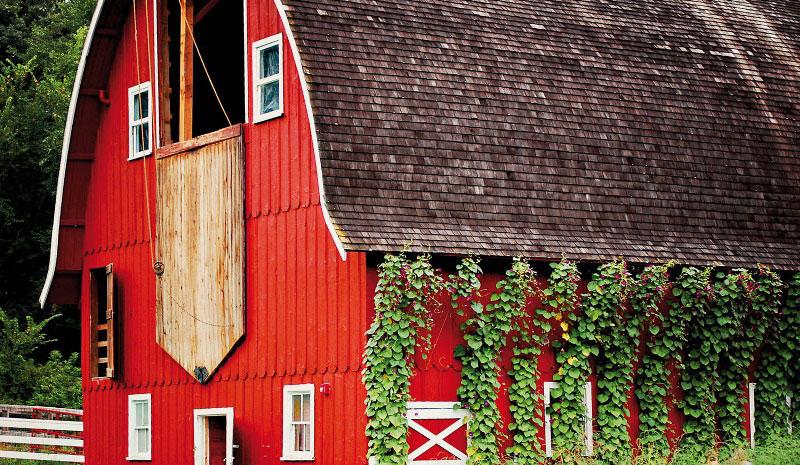 Barn-with-morning-glories_web