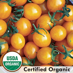 Tomato Blondkopfchen Organic