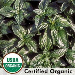 Organic Genovese Basil