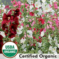 Outhouse Hollyhock Organic