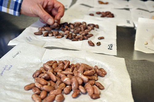 Taste evaluations for dry beans