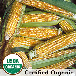 Golden Bantam Organic Corn