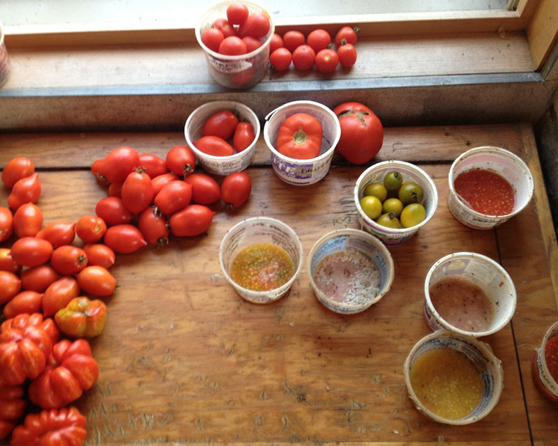 Tomato Seed Saving