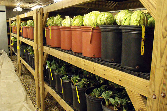 The Heritage Farm Root Cellar Hosts Many Crops