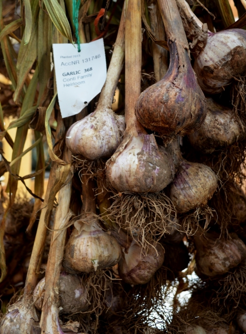 Freshly harvested bulbs of the 'Conti Family Heirloom' variety in an initial drying stage
