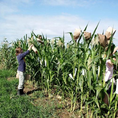 Hand-pollinating corn