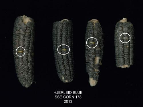 'Hjerleid Blue' corn