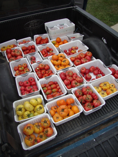 Gather your supplies. You'll need a clear container, a kitchen strainer, a drying substrate, and some of your best open-pollinated tomatoes. Saving seed from heirloom or open0pollinated varieties ensures that the plants will exhibit the same traits as the tomato from which you harvest seed.