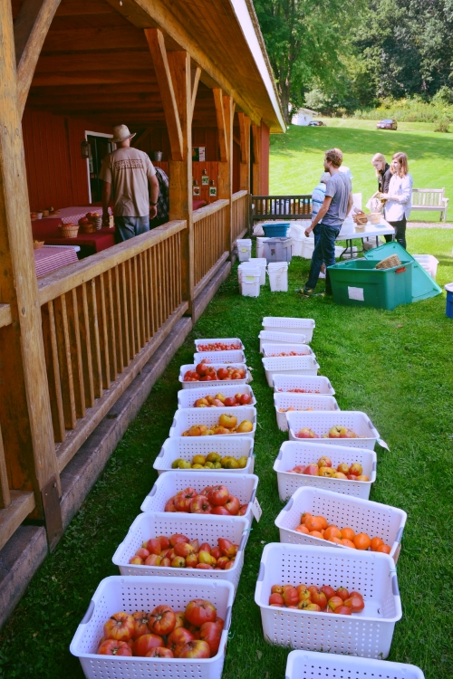 Staff and volunteers harvest and wash 58 varieties of tomatoes for the annual tasting festival.