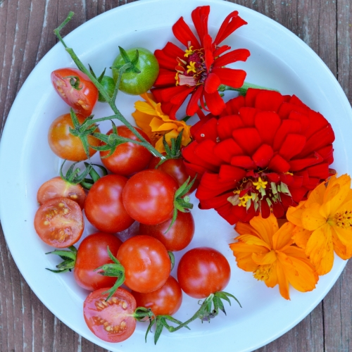 Mexico Midget Tomato, zinnias, and cosmos on a dessert plate.