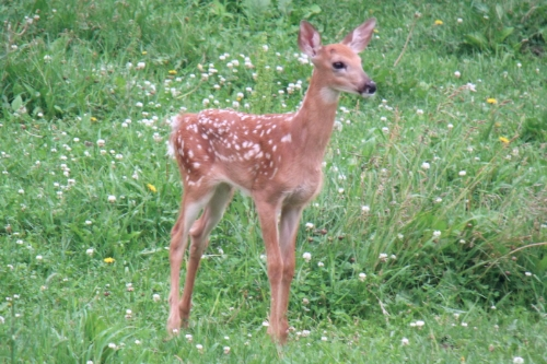 Deer can be a problem for your young fruit trees - take steps to protect trees over the winter.