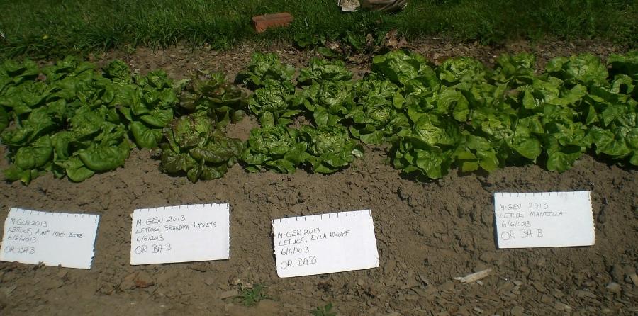 Lettuce Trials in Oregon, Courtesy of Baruch Bashan