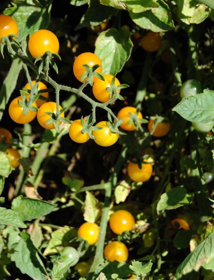 Igleheart Tomato, courtesy of Helen Brookman