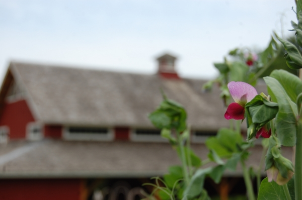 Sweet pea flowers bring color to a HEritage Farm Display Garden
