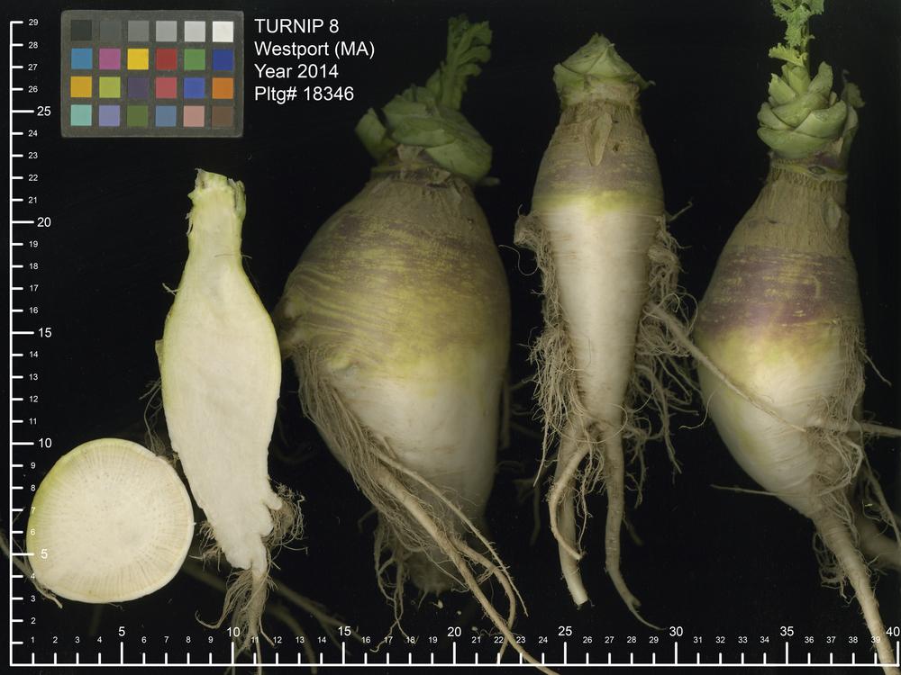 Mugshot: 'Macomber' rutabaga, A.K.A. 'Macomber' Turnip, A.K.A. 'Westport' TUrnip
