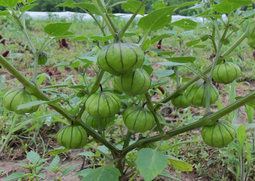 Tomatillos on the vine