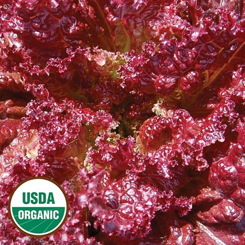 'Lolla Rossa' lettuce