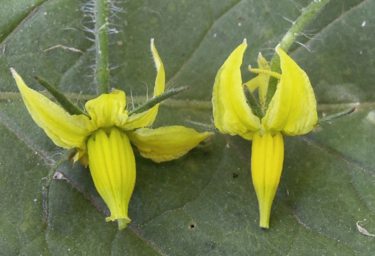 Figure 1: The flower on the left has a protruding stigma (also called exserted) which sticks out past the flower cone because of the length of the flower style. The flower on the right has an inserted stigma, which is enclosed by the flower cone.