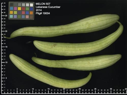 'Lebanese Cucumber' melon